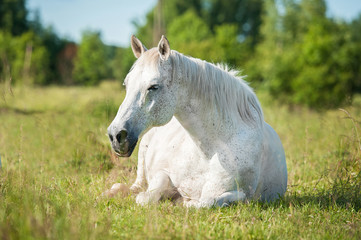 White horse lying on the pasture in summer