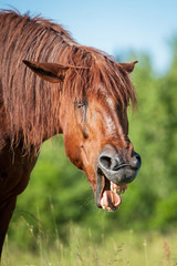 Funny horse yawning on the pasture in summer