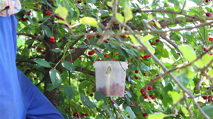 pluck cherries