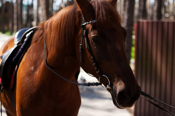 Brown stallion. Portrait of a sports brown horse. Riding
