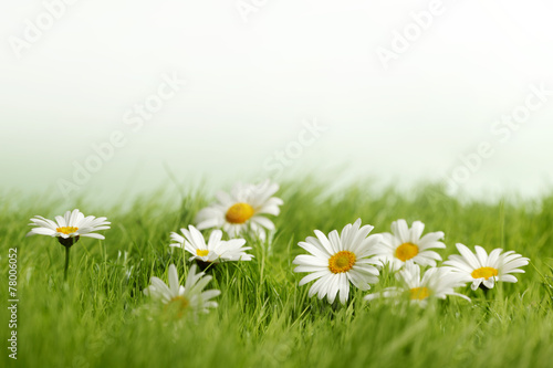 Foto op Canvas Madeliefjes Spring meadow with daisies