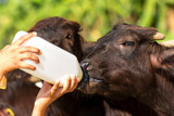 Feeding a baby of murrah buffalo (water buffalo) from bottle