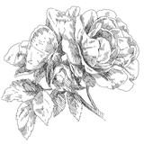 Hand drawn rose flowers - 78008477