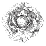 Hand drawn rose flowers - 78008814