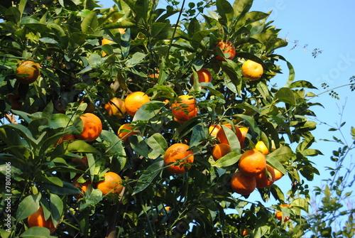 Papiers peints Arbre oranger