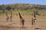 Giraffen im Kgalagadi Trandfrontier Nationalpark
