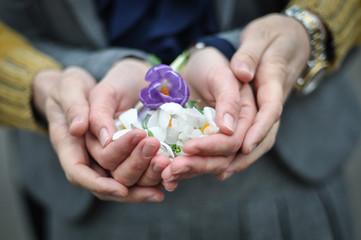 frühlingsblume in den händen