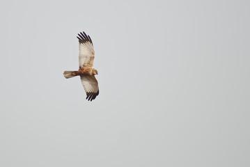 falco di palude (Circus aeruginosus) in caccia