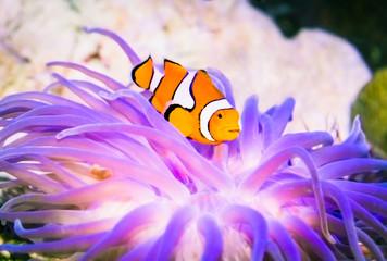 Clownfish (Nemo) in marine aquarium.