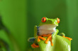 Red eyed tree frog - 78014297