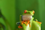 Fototapety Red eyed tree frog