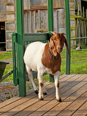 goat on a porch