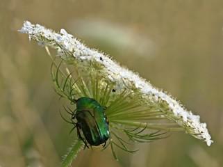 Rosenkäfer (Cetonia aurata) unterm Möhren-Sonnenschirm