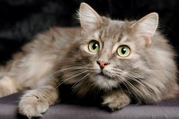 Surprised Siberian cat
