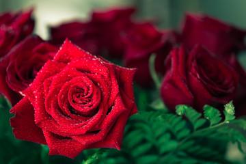 Beautiful red rose macro shot close up. Valentines Day
