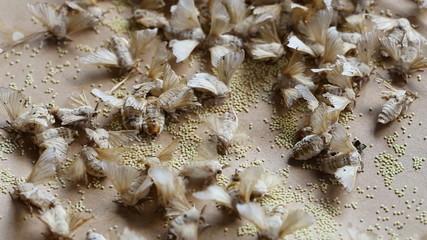 silkworm spawn in the farm