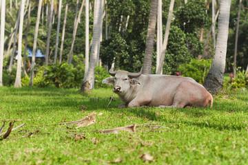 big bull
