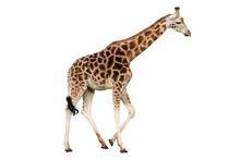"Постер, картина, фотообои ""Giraffe"""