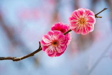 two red plum flowers