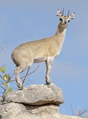 Kruger National Park South Africa, klipspringer