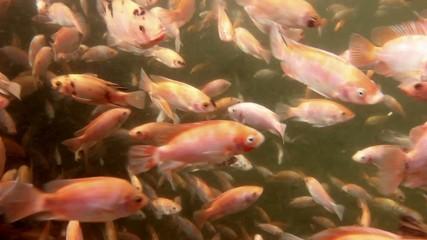 Tilapia underwater at a fish farm in Ecuador