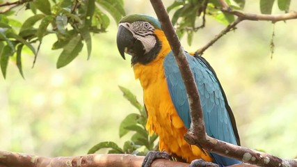 Blue-and-yellow Macaw (Ara ararauna) in the rainforest, Ecuador