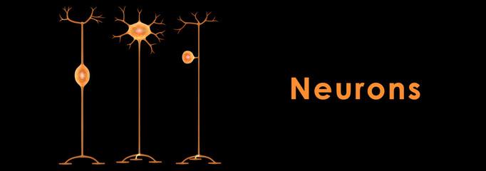 .Neurons