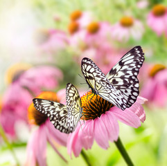 Schmetterlinge auf Echinacea :)