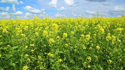 beautiful flowering rapeseed field under blue sky - slider dolly