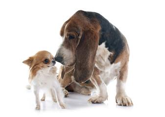 basset hound and chihuahua