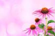 Echinacea for medicine