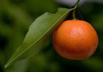 Mandarino da produzione biologica