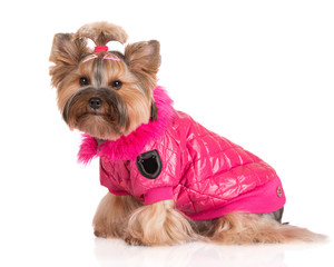 adorable dog in a pink jacket
