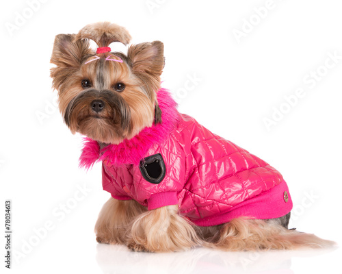 Fotobehang Dragen adorable dog in a pink jacket
