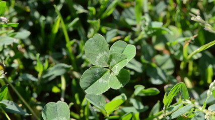 lucky five leaf clover plant in wind