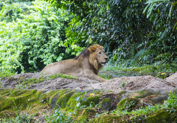 lion hunts in the wild jungles of Africa