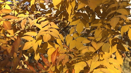 Autumn painted tree with it's leaves glowing