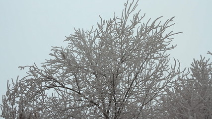 Branches of trees covered with hoarfrost on a cloudy day