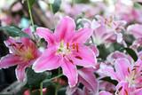 Fotoroleta pink lily