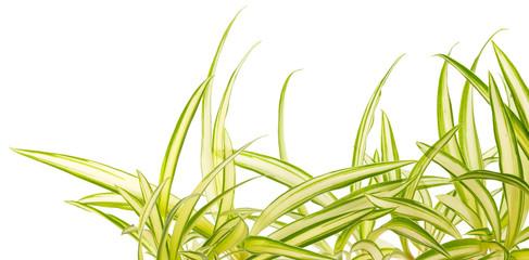 plante araignée, Phalangère, phalangium