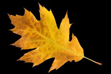 Eichenblatt; Quercus; Robur; herbstfaerbung,