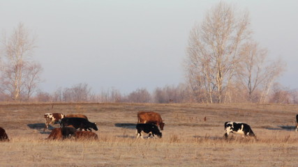 cows on autumn dry pasture - farm scene timelapse