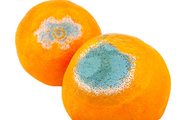 Closeup of two moldy and rotten oranges isolated on white