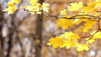 autumn bright yellow maple leaves in sunlight