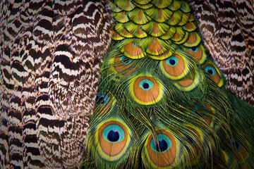 Feathers of a blue peafowl as a background