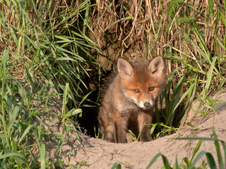 Young fox comes out of the hole