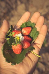 Strawberry in hand,agriculture concept.