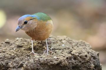 Blue-rumped Pitta (Hydrornis soror) in Vietnam