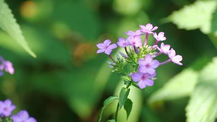 phlox flower between green leaves
