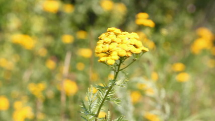 tansy flowers on green meadow